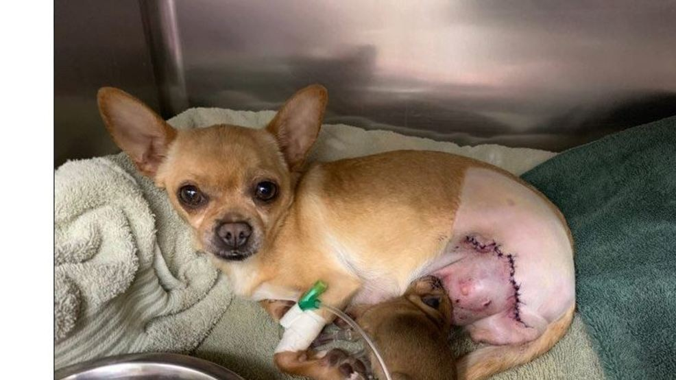 Dog Gives Birth To Puppy After Being Hit By A Car And Having Her Leg